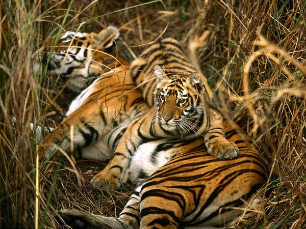 A royal Bengal tiger and her cub resting in the meadows. Photo by Michael Nicholas, Source: The National Geographic Magazine.