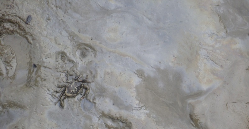 A dead crab in the oil covered mud.