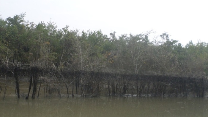 The oil line that forms when the trees are immersed in the oil rich water during high tide.